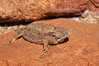 Horned lizard.  When threatened, the horned lizard can squirt blood from its eye at an attacker up to 5 feet away. Amado, Arizona, USA. Image #23052