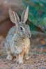 Desert cottontail, or Audubon's cottontail rabbit. Amado, Arizona, USA. Image #23055