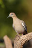 White-winged dove. Amado, Arizona, USA. Image #23059