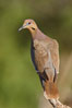 White-winged dove. Amado, Arizona, USA. Image #23067