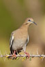 White-winged dove. Amado, Arizona, USA. Image #23069