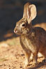 Desert cottontail, or Audubon's cottontail rabbit. Amado, Arizona, USA. Image #23070