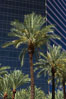 Palm trees and blue sky, office buildings, downtown Phoenix. Phoenix, Arizona, USA. Image #23181