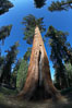 A giant sequoia tree, soars skyward from the forest floor, lit by the morning sun and surrounded by other sequioas.  The massive trunk characteristic of sequoia trees is apparent, as is the crown of foliage starting high above the base of the tree. Mariposa Grove, Yosemite National Park, California, USA. Image #23270