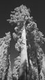 Giant sequoia tree towers over surrounding trees in a Sierra forest.  Infrared image. Mariposa Grove. Image #23304