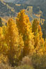 Aspen trees turning yellow in autumn, fall colors in the eastern sierra. Bishop Creek Canyon, Sierra Nevada Mountains, California, USA. Image #23327