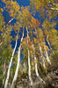 White trunks of aspen trees, viewed upward toward the yellow and orange leaves of autumn and the blue sky beyond. Bishop Creek Canyon, Sierra Nevada Mountains, California, USA. Image #23337