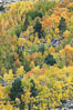 Aspen trees, create a collage of autumn colors on the sides of Rock Creek Canyon, fall colors of yellow, orange, green and red. Rock Creek Canyon, Sierra Nevada Mountains, California, USA. Image #23349