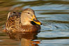 Mallard, female. Santee Lakes, California, USA. Image #23396