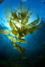Kelp fronds, translucent, backlit by sun. Catalina Island, California, USA. Image #23436