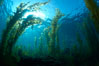 Kelp forest, sunlight filters through towering stands of giant kelp, underwater. Catalina Island, California, USA. Image #23448