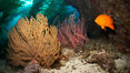 Garibaldi swims beside golden and red gorgonians, underwater. Catalina Island, California, USA. Image #23484