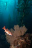 Sheephead and golden gorgonian, underwater in a kelp forest. San Clemente Island, California, USA. Image #23528