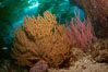 Golden and red gorgonians, kelp forest in background, underwater. Catalina Island, California, USA. Image #23531
