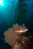 Sheephead and golden gorgonian, underwater in a kelp forest. San Clemente Island, California, USA. Image #23586