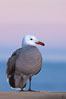 Heermanns gull, presunrise purple-pink glow in the distant sky. La Jolla, California, USA. Image #23656