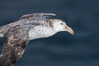 Northern giant petrel in flight.  The distinctive tube nose (naricorn), characteristic of species in the Procellariidae family (tube-snouts), is easily seen. Falkland Islands, United Kingdom. Image #23691