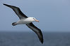 "Black-browed albatross in flight.  The black-browed albatross is a medium-sized seabird at 31�37"" long with a 79�94"" wingspan and an average weight of 6.4�10 lb. They have a natural lifespan exceeding 70 years. They breed on remote oceanic islands and are circumpolar, ranging throughout the Southern Oceanic. Falkland Islands, United Kingdom. Image #23716"