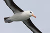 "Black-browed albatross in flight.  The black-browed albatross is a medium-sized seabird at 31�37"" long with a 79�94"" wingspan and an average weight of 6.4�10 lb. They have a natural lifespan exceeding 70 years. They breed on remote oceanic islands and are circumpolar, ranging throughout the Southern Oceanic. Falkland Islands, United Kingdom. Image #23719"