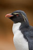 "Rockhopper penguin portrait, showing the yellowish plume feathers that extend behind its red eye in adults.  The western rockhopper penguin stands about 23"" high and weights up to 7.5 lb, with a lifespan of 20-30 years. New Island, Falkland Islands, United Kingdom. Image #23723"