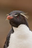 "Rockhopper penguin portrait, showing the yellowish plume feathers that extend behind its red eye in adults.  The western rockhopper penguin stands about 23"" high and weights up to 7.5 lb, with a lifespan of 20-30 years. New Island, Falkland Islands, United Kingdom. Image #23730"