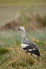 "Upland goose, male, walking across grasslands. Males have a white head and breast, females are brown with black-striped wings and yellow feet. Upland geese are 24-29""  long and weigh about 7 lbs. New Island, Falkland Islands, United Kingdom. Image #23769"