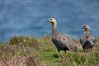 "Upland geese, female, walking across grasslands. Males have a white head and breast, females are brown with black-striped wings and yellow feet. Upland geese are 24-29""  long and weigh about 7 lbs. New Island, Falkland Islands, United Kingdom. Image #23772"