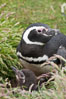"Magellanic penguin, adult and chick, in grasslands at the opening of their underground burrow.  Magellanic penguins can grow to 30"" tall, 14 lbs and live over 25 years.  They feed in the water, preying on cuttlefish, sardines, squid, krill, and other crustaceans. New Island, Falkland Islands, United Kingdom. Image #23775"