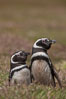 "Magellanic penguins, in grasslands at the opening of their underground burrow.  Magellanic penguins can grow to 30"" tall, 14 lbs and live over 25 years.  They feed in the water, preying on cuttlefish, sardines, squid, krill, and other crustaceans. New Island, Falkland Islands, United Kingdom. Image #23780"