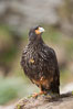 Striated caracara, aka Johnny Rook, a common raptor in the Falkland Islands. New Island, United Kingdom. Image #23827