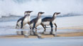"Magellanic penguins, coming ashore on a sandy beach.  Magellanic penguins can grow to 30"" tall, 14 lbs and live over 25 years.  They feed in the water, preying on cuttlefish, sardines, squid, krill, and other crustaceans. New Island, Falkland Islands, United Kingdom. Image #23924"