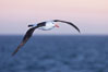 "Black-browed albatross in flight, at sea.  The black-browed albatross is a medium-sized seabird at 31-37"" long with a 79-94"" wingspan and an average weight of 6.4-10 lb. They have a natural lifespan exceeding 70 years. They breed on remote oceanic islands and are circumpolar, ranging throughout the Southern Oceanic. Falkland Islands, United Kingdom. Image #23962"