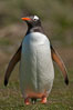 "Gentoo penguin.  Gentoo penguins reach 36"" in height and weigh up to 20 lbs.  They are the fastest swimming species of penguing, feeding in marine crustaceans and fishes. Carcass Island, Falkland Islands, United Kingdom. Image #23963"