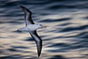 "Black-browed albatross flying over the ocean, as it travels and forages for food at sea.  The black-browed albatross is a medium-sized seabird at 31-37"" long with a 79-94"" wingspan and an average weight of 6.4-10 lb. They have a natural lifespan exceeding 70 years. They breed on remote oceanic islands and are circumpolar, ranging throughout the Southern Oceanic. Falkland Islands, United Kingdom. Image #23966"