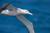 Wandering albatross in flight, over the open sea.  The wandering albatross has the largest wingspan of any living bird, with the wingspan between, up to 12' from wingtip to wingtip.  It can soar on the open ocean for hours at a time, riding the updrafts from individual swells, with a glide ratio of 22 units of distance for every unit of drop.  The wandering albatross can live up to 23 years.  They hunt at night on the open ocean for cephalopods, small fish, and crustaceans. The survival of the species is at risk due to mortality from long-line fishing gear. Southern Ocean. Image #24070