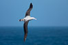 Wandering albatross in flight, over the open sea.  The wandering albatross has the largest wingspan of any living bird, with the wingspan between, up to 12' from wingtip to wingtip.  It can soar on the open ocean for hours at a time, riding the updrafts from individual swells, with a glide ratio of 22 units of distance for every unit of drop.  The wandering albatross can live up to 23 years.  They hunt at night on the open ocean for cephalopods, small fish, and crustaceans. The survival of the species is at risk due to mortality from long-line fishing gear. Southern Ocean. Image #24071