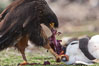 Striated caracara feeds upon a gentoo penguin chick it has just killed. Steeple Jason Island, Falkland Islands, United Kingdom. Image #24086