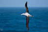 Wandering albatross in flight, over the open sea.  The wandering albatross has the largest wingspan of any living bird, with the wingspan between, up to 12' from wingtip to wingtip.  It can soar on the open ocean for hours at a time, riding the updrafts from individual swells, with a glide ratio of 22 units of distance for every unit of drop.  The wandering albatross can live up to 23 years.  They hunt at night on the open ocean for cephalopods, small fish, and crustaceans. The survival of the species is at risk due to mortality from long-line fishing gear. Southern Ocean. Image #24089