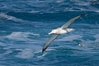 Wandering albatross in flight, over the open sea.  The wandering albatross has the largest wingspan of any living bird, with the wingspan between, up to 12' from wingtip to wingtip.  It can soar on the open ocean for hours at a time, riding the updrafts from individual swells, with a glide ratio of 22 units of distance for every unit of drop.  The wandering albatross can live up to 23 years.  They hunt at night on the open ocean for cephalopods, small fish, and crustaceans. The survival of the species is at risk due to mortality from long-line fishing gear. Southern Ocean. Image #24090