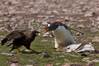 Gentoo penguin defends its dead chick (right), from the striated caracara (left) that has just killed it.  The penguin continued to defend its lifeless chick for hours, in spite of the futulity and inevitabliityof the final result.  Striated caracaras eventually took possession of the dead chick and fed upon it. Steeple Jason Island, Falkland Islands, United Kingdom. Image #24207