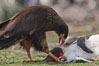 Striated caracara feeds upon a gentoo penguin chick it has just killed. Steeple Jason Island, Falkland Islands, United Kingdom. Image #24278