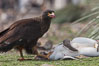 Striated caracara feeds upon a gentoo penguin chick it has just killed. Steeple Jason Island, Falkland Islands, United Kingdom. Image #24279