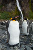 King penguins gather in a steam to molt, below a waterfall on a cobblestone beach at Hercules Bay. South Georgia Island. Image #24384