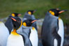King penguins, showing ornate and distinctive neck, breast and head plumage and orange beak. Grytviken, South Georgia Island. Image #24413