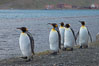 King penguins march in a line along the shore. Grytviken, South Georgia Island. Image #24416
