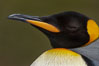 King penguin, showing ornate and distinctive neck, breast and head plumage and orange beak. Fortuna Bay, South Georgia Island. Image #24581