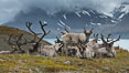 Reindeer on South Georgia Island.  Reindeer (known as caribou when wild) were introduced to South Georgia Island by Norway in the early 20th Century.  There are now two distinct herds which are permanently separated by glaciers. Fortuna Bay, South Georgia Island. Image #24592