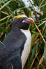 Macaroni penguin, amid tall tussock grass, Cooper Bay, South Georgia Island. Image #24683