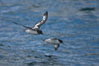 Pintado petrel in flight. Scotia Sea, Southern Ocean. Image #24693