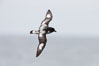 Pintado petrel in flight. Scotia Sea, Southern Ocean. Image #24707